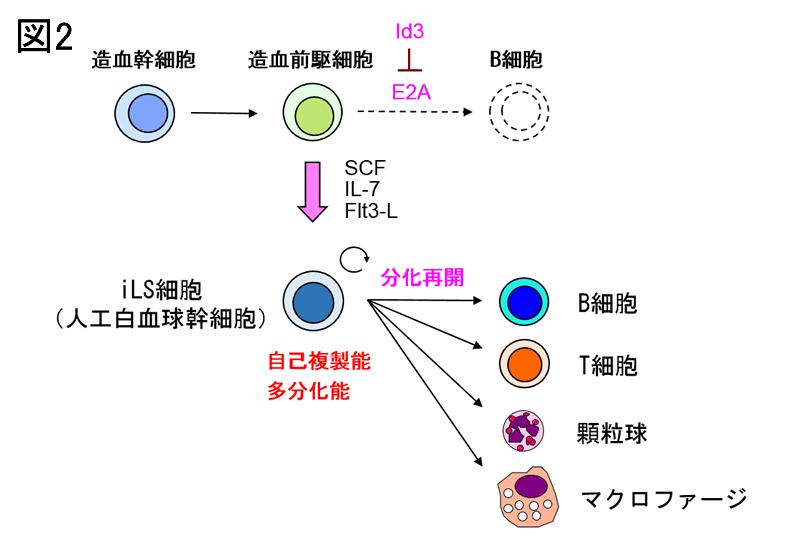 造血幹細胞からリンパ球への分化制御機構