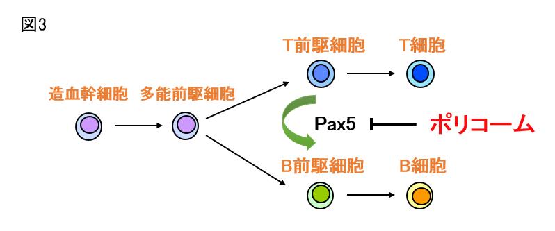 ポリコーム群タンパクによるリンパ球分化制御