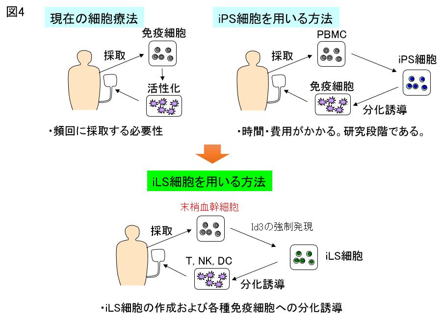 iLS細胞を用いた免疫細胞療法の開発